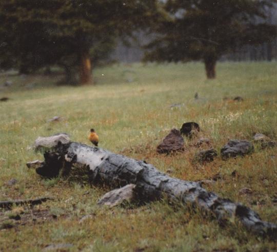 Robin Singing on a Log