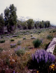Lupine with the Grand Tetons in the Distance