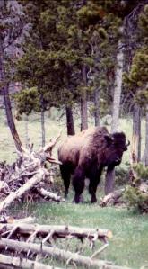 YSNP bison scratch