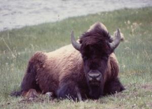 YSNP bison sitting
