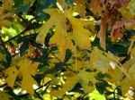 Fall colors seqoia 28 oct 2017035