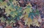 Fall colors seqoia 28 oct 2017065