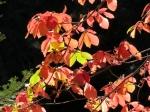 Fall colors seqoia 28 oct 2017083