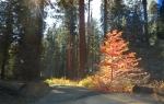 Fall colors seqoia 28 oct 2017153