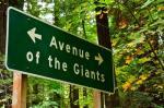 avenue-of-the-giants