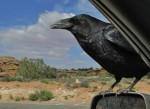 raven by car
